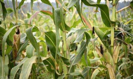 Burundi – Invest in corn growing, an emergency!